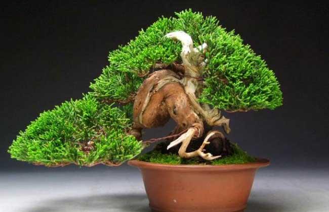 松树盆景怎么养?