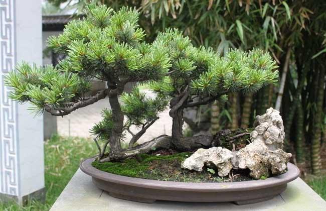 松树盆景制作视频_松树盆景制作过程 - 花卉种植 - 黔农网