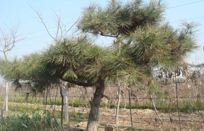 油松的种植技术