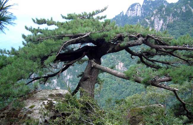 松树有什么作用?