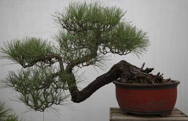 马尾松盆景的制作方法
