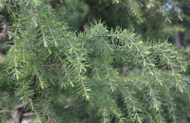 松树的种类图片大全