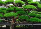松树的特点有哪些?