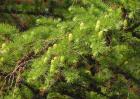 落叶松种植技术