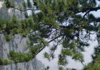 松树的外形特征