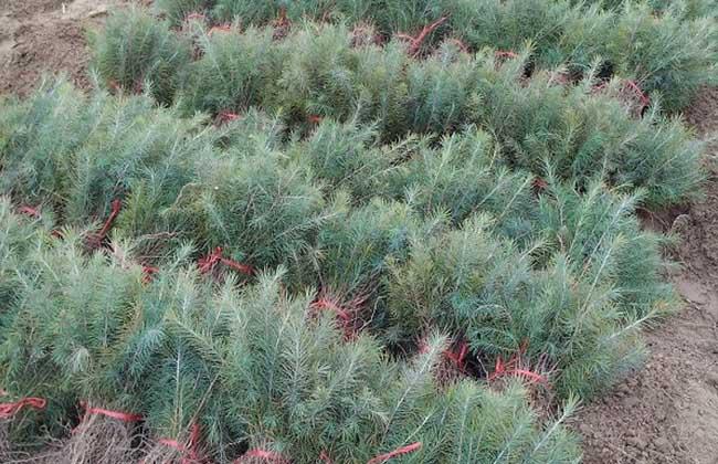 雪松种子图片图片