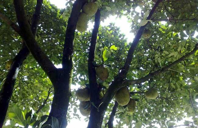 榴莲树几年结果