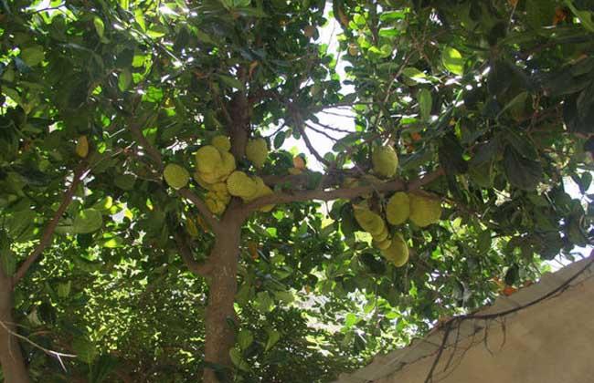 榴莲的种植条件