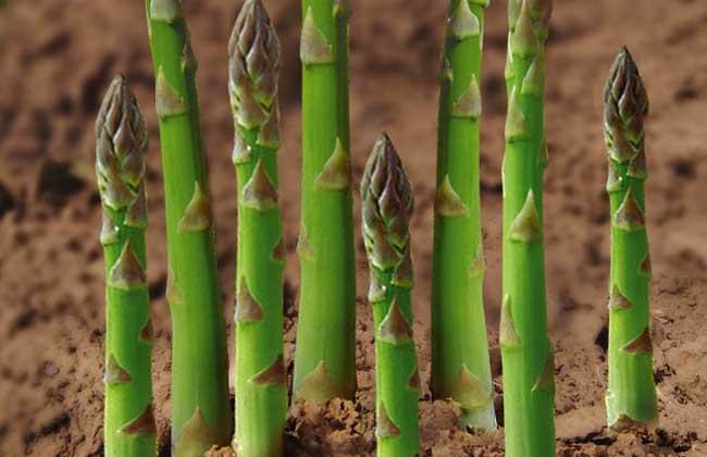 芦笋是什么植物?
