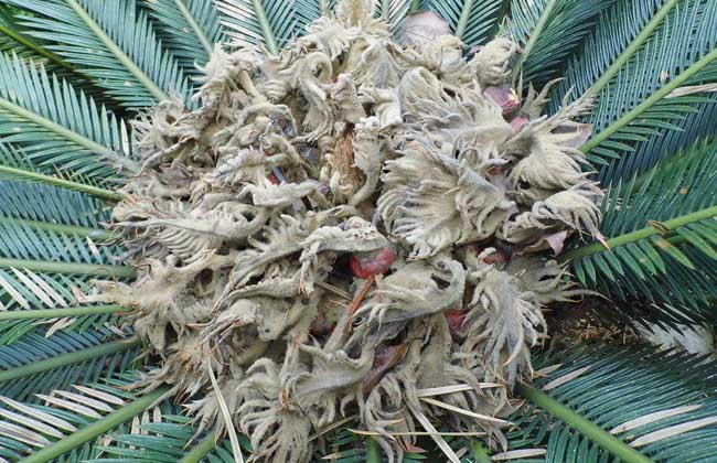 铁树是什么植物?