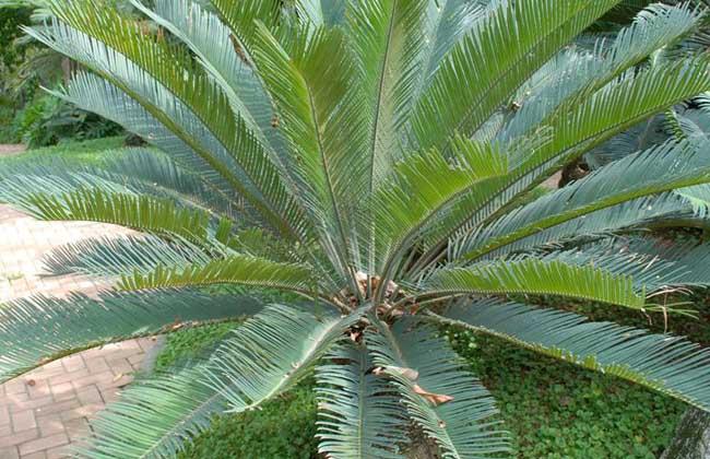 铁树种类图片