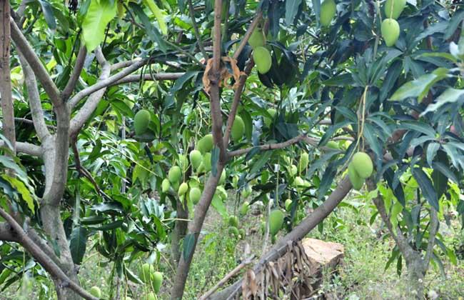 芒果产地在哪里