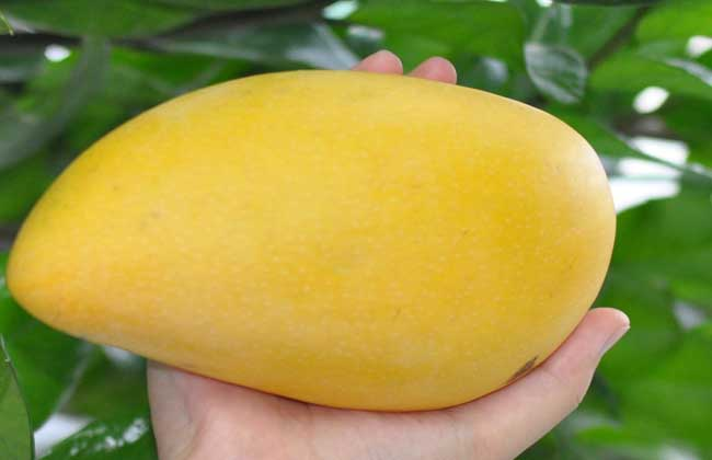 芒果种类图片