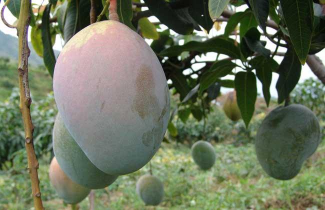 芒果能放冰箱保存吗?