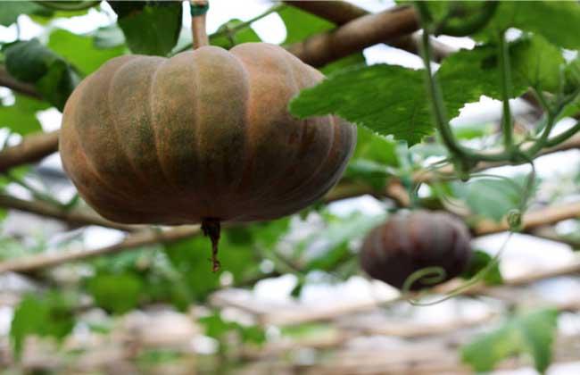 南瓜的种类有多少种图片