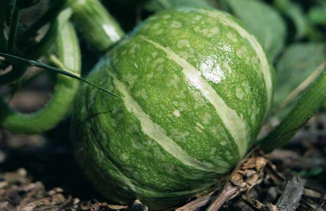 南瓜的种类及图片大全图片