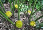 铁树开花有什么征兆?
