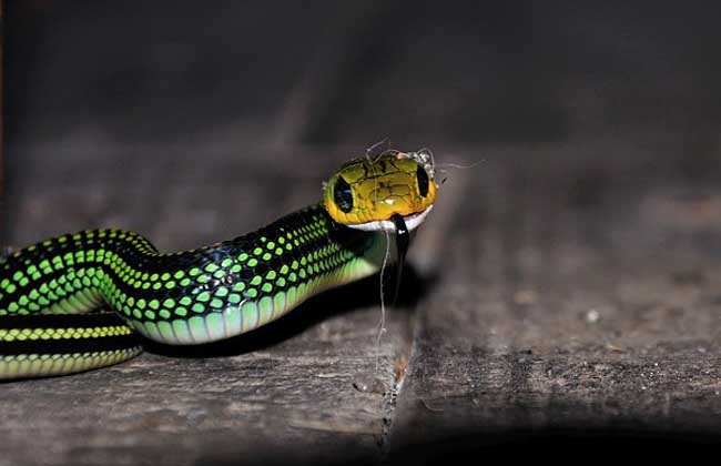 乌梢蛇有没有毒