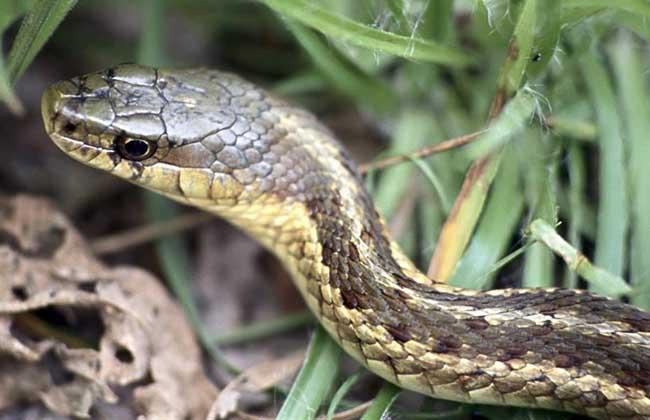 乌梢蛇的功效与作用