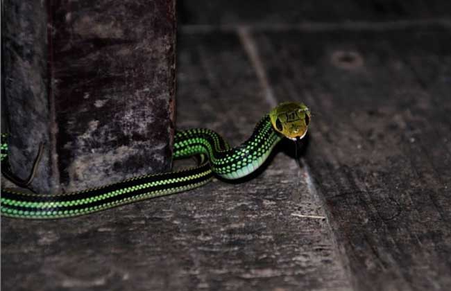 乌梢蛇的养殖技术