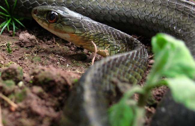 乌梢蛇养殖技术