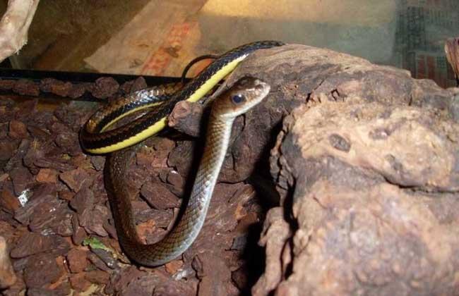 乌梢蛇价格多少钱?