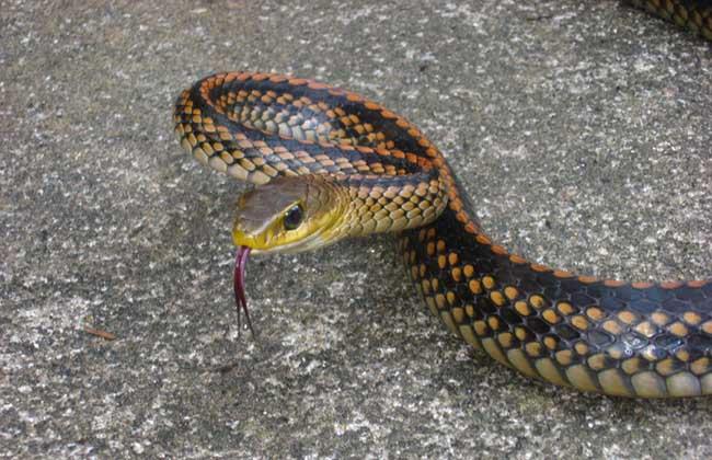 乌梢蛇价格多少钱