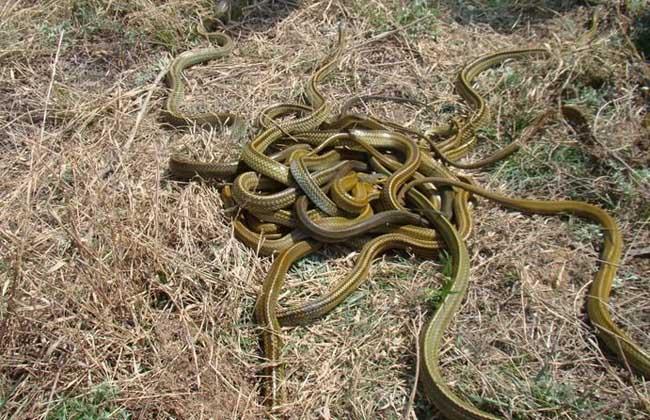 乌梢蛇吃什么食物