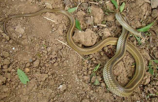 乌梢蛇和眼镜蛇的区别