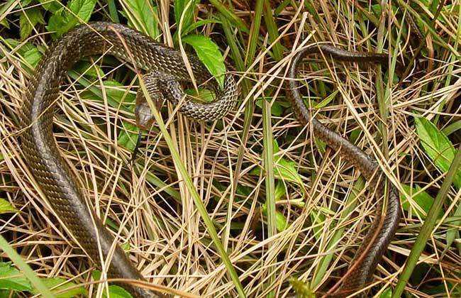 乌梢蛇能长多大