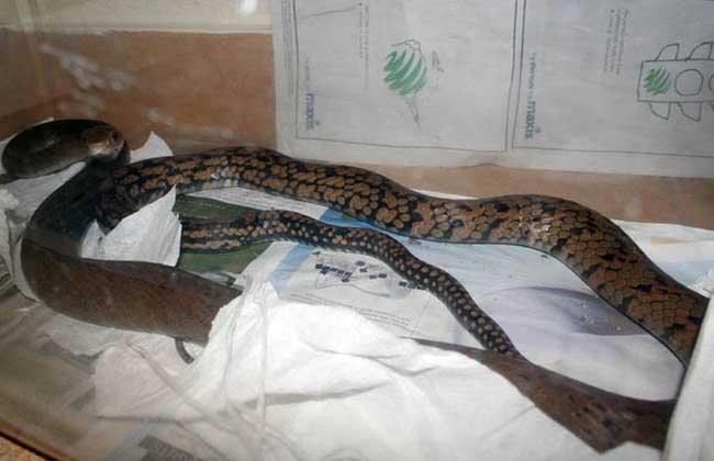 黑网乌梢蛇