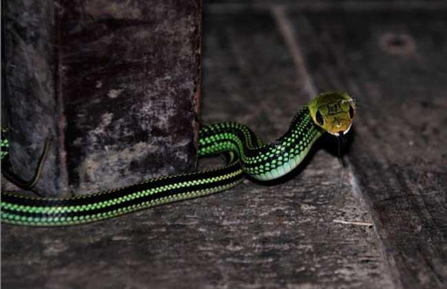 黑线乌梢蛇