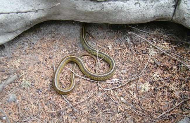 乌梢蛇是保护动物吗