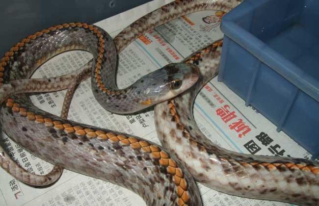乌梢蛇繁殖技术