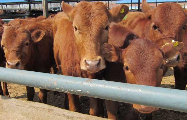 牛什么时候反刍?
