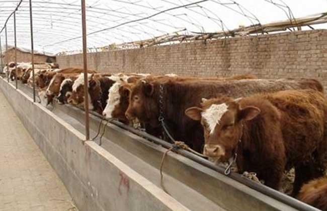 肉牛育肥技术