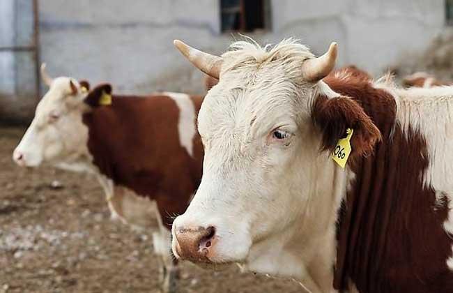 肉牛养牛场建设方法