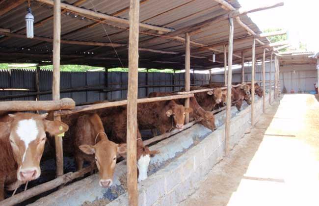 养牛场建设的注意事项