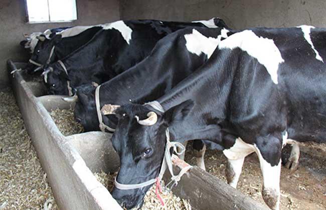农村奶牛养殖技术