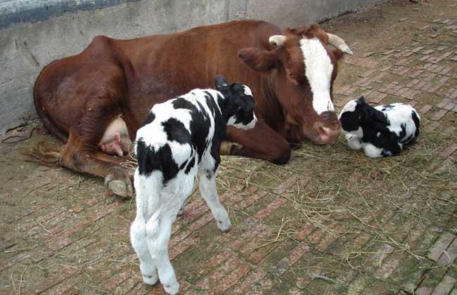 奶牛繁殖技术