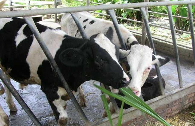 更赛牛 更赛牛属于中型乳用品种,原产于英国更赛岛,以高乳脂、高乳蛋白以及奶中较高的胡萝卜素含量而著名。同时还具有单位奶量饲料转化效率较高、产犊间隔较短、初次产犊年龄较早、耐粗饲、易放牧、对温热气候有较好的适应性等特点。