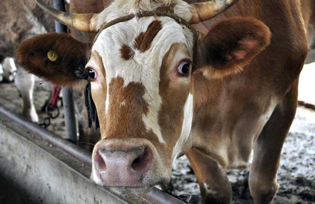 肉牛饲料配制方法