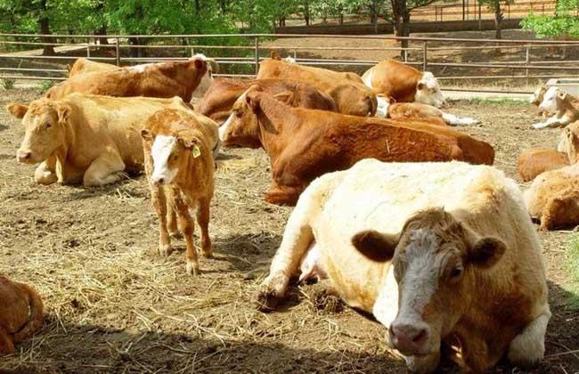 常见的肉牛饲料添加剂