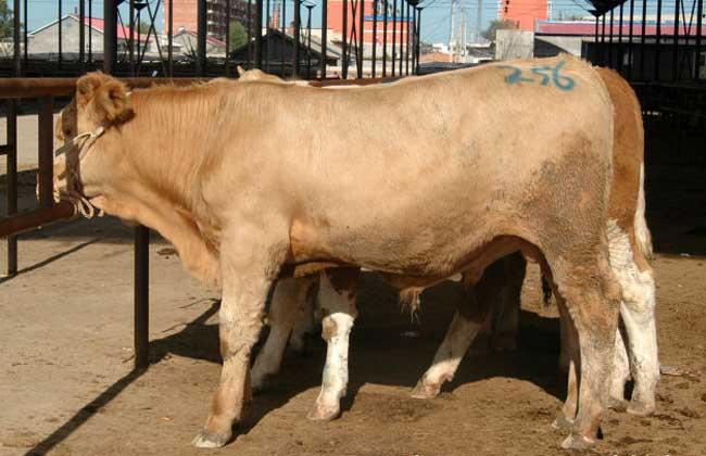 牛前胃弛缓