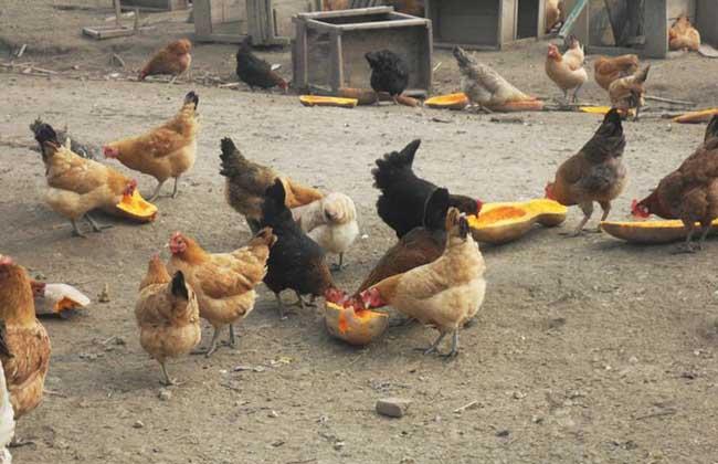 果园散养土鸡舍建造