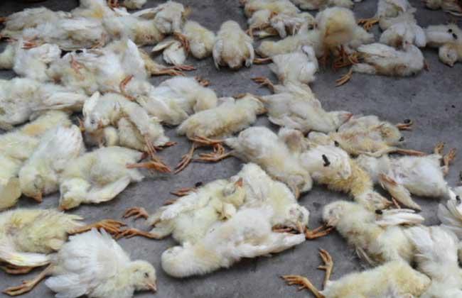 鸡包涵体肝炎
