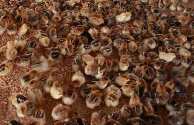 发酵床养鸡技术