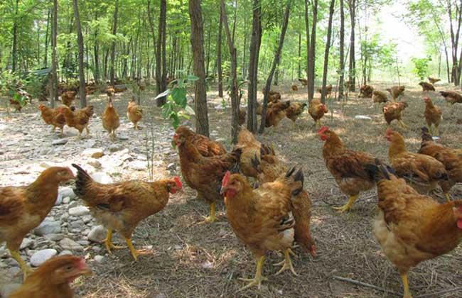 林地养鸡技术