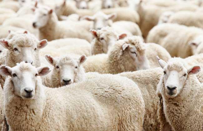 绵羊的品种有哪些?
