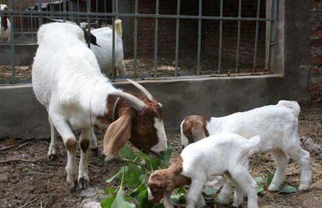 一代波尔山羊